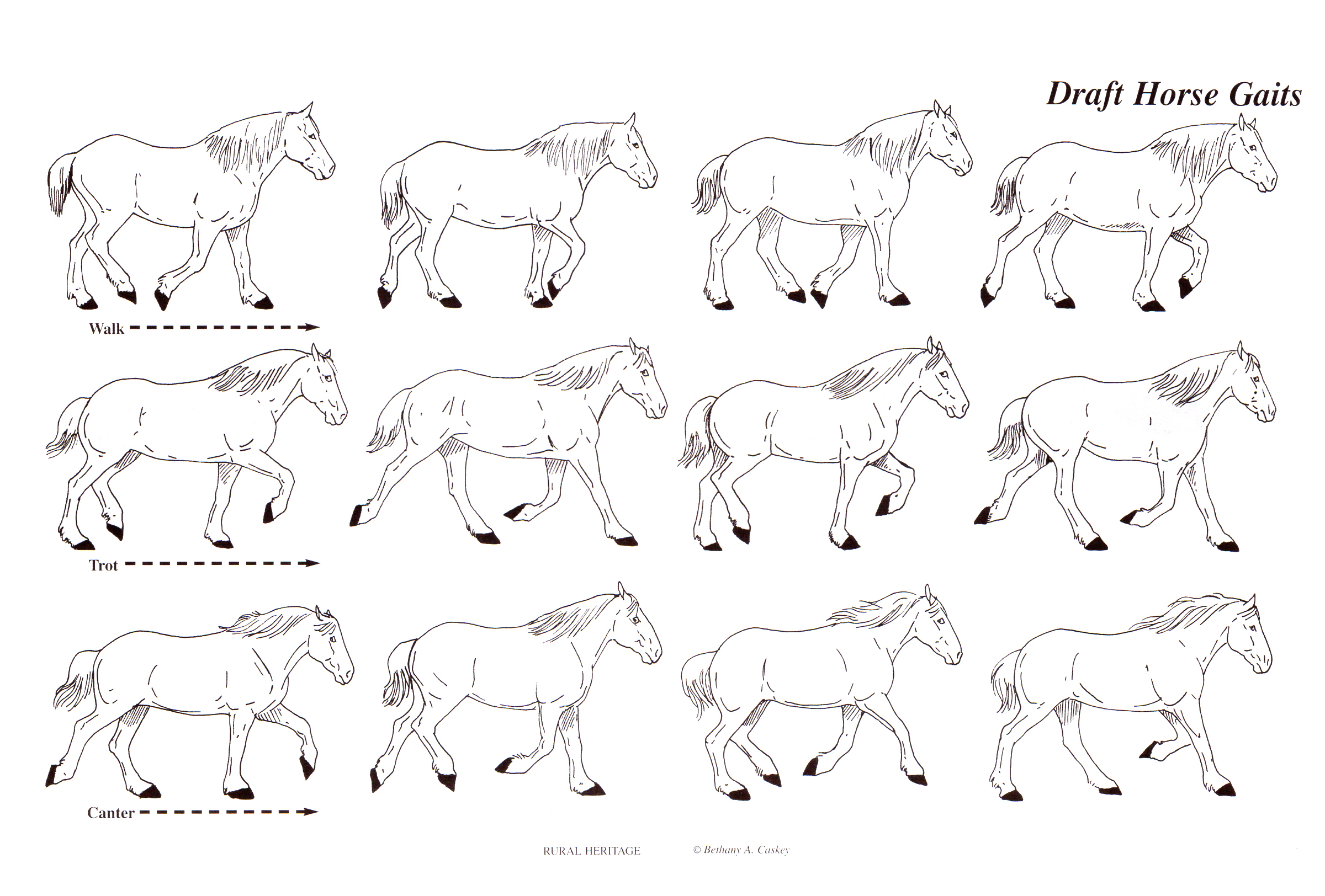 Rural Heritage Horse Gaits Illustration