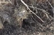 Bobcat Trapping Tips