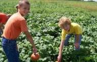 Bergmann's Corn Maze and Pumpkin Patch Opening Season