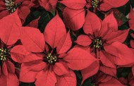 Poinsettias present a yuletide challenge for plant enthusiasts