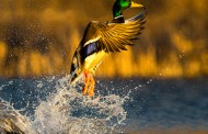 Commission to consider 2018 waterfowl hunting recommendations