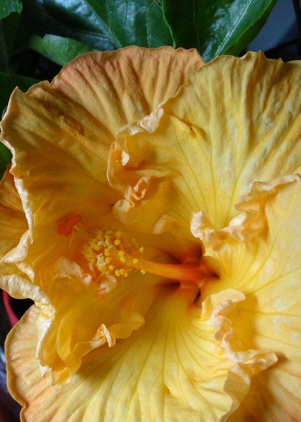 Add a little paradise to your garden | Costa Farms Tropical Hibiscus