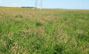 This mixed-species pasture on Graeme Finn's farm dominated with pink flowered sainfoin about to go to seed will be used for fall grazing with a side-benefit that some of those seeds will be redistributed over this and other pastures in manure. Photo provided by Graeme Finn