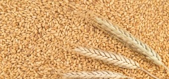Wheat survey blazes pathway to higher feed value