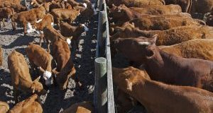BCRC: Producers with large herds are believers in low stress weaning