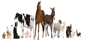 AFAC: Livestock Welfare Engagement Project