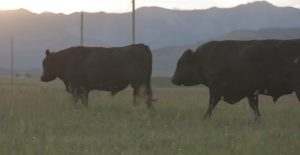 BCRC: Bull Selection: Using Economically Relevant Traits