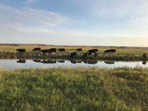 cattle grazing near water