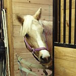 palomino_looking_out_300x236.jpg