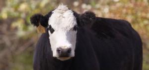 main_cta_cattle