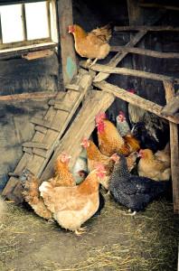 Backyard Flock