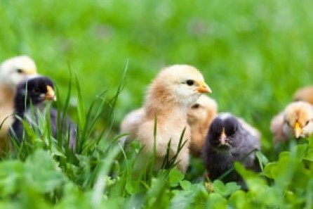 Group of baby chicks in grass