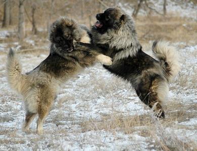 Caucasian Ovcharka fighting