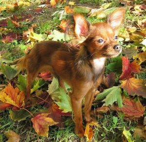 russian_toy terrier