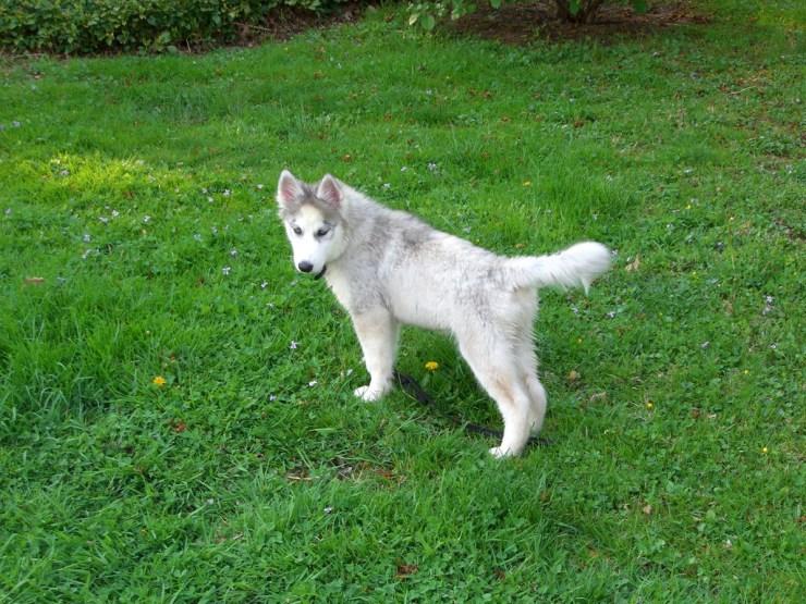 Siberian Husky photo