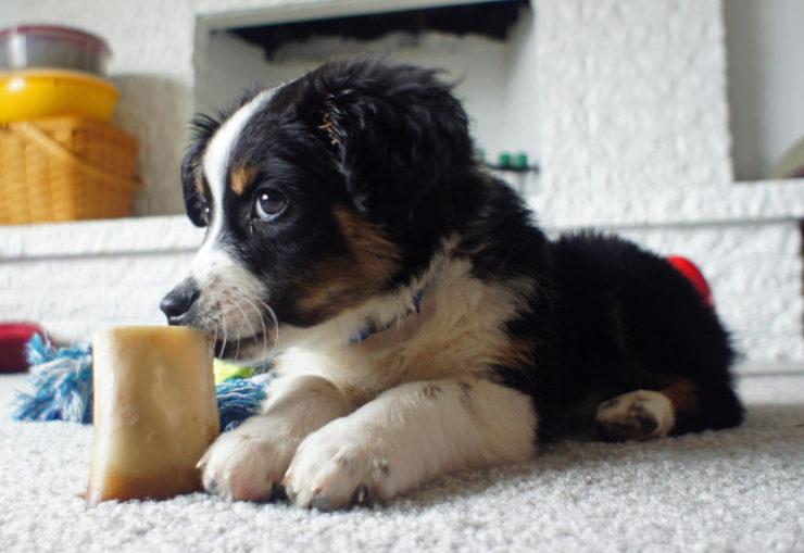 Australian Shepherd Puppy playing