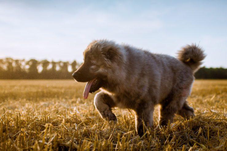 caucasian ovcharka pup photo