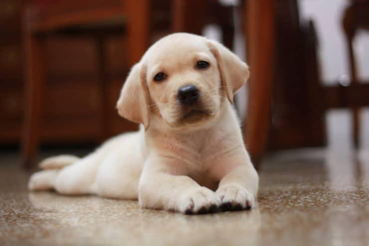 labrador-puppy