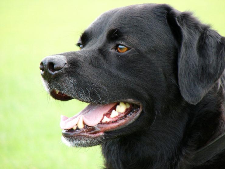 protective labrador photo