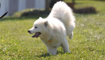 A siberian husky or a samoyed can samoyed dog be trusted off leash voltagebd Image collections