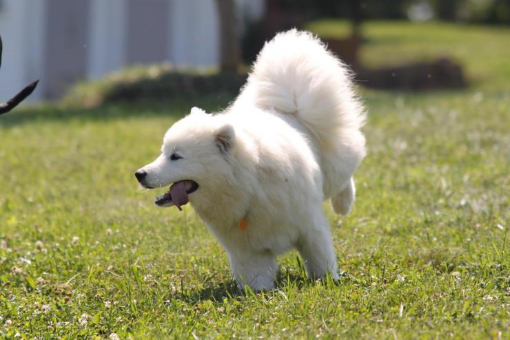 samoyed dog off leash
