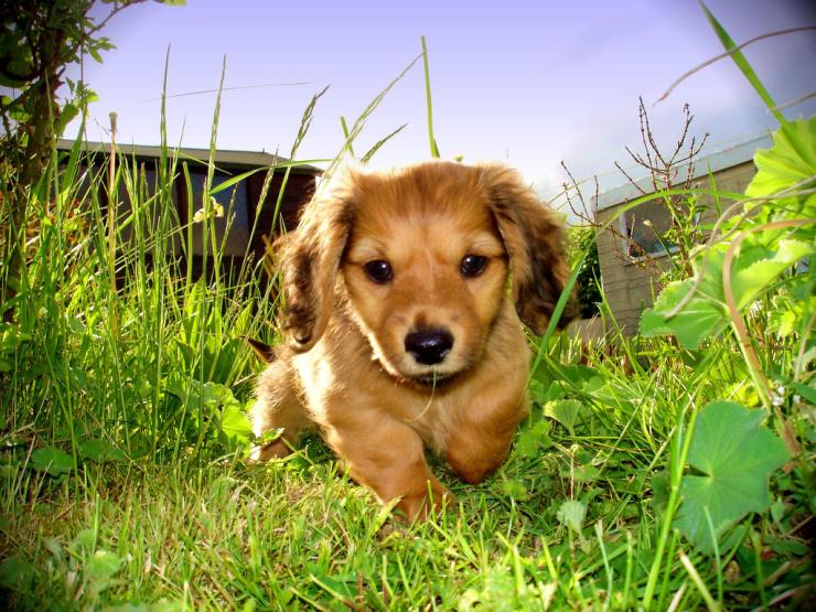 doxie dog