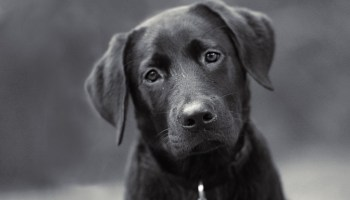 how to get my black labrador to stop shedding so much
