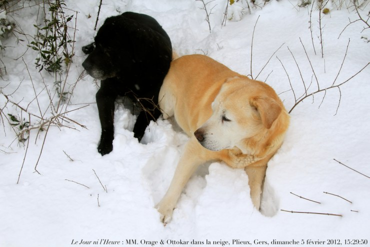 labrador in winter photo