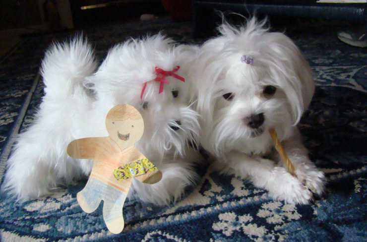 maltese puppies photo