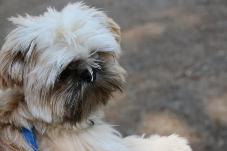 shih tzu puppy outside