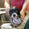 How often should you take your Shih Tzu to get groomed?