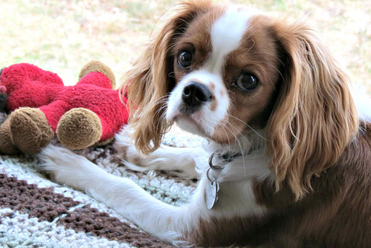 Cavalier King Charles Spaniel in apartment