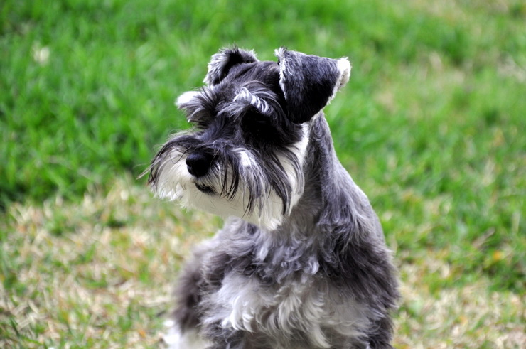 miniature schnauzer outdoor