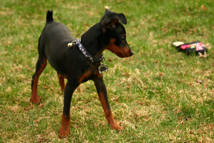 miniature pinscher tail and ears