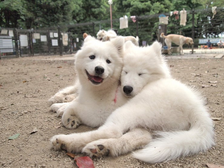 Is the american eskimo dog and the samoyed dog similar for Most apartment friendly dogs