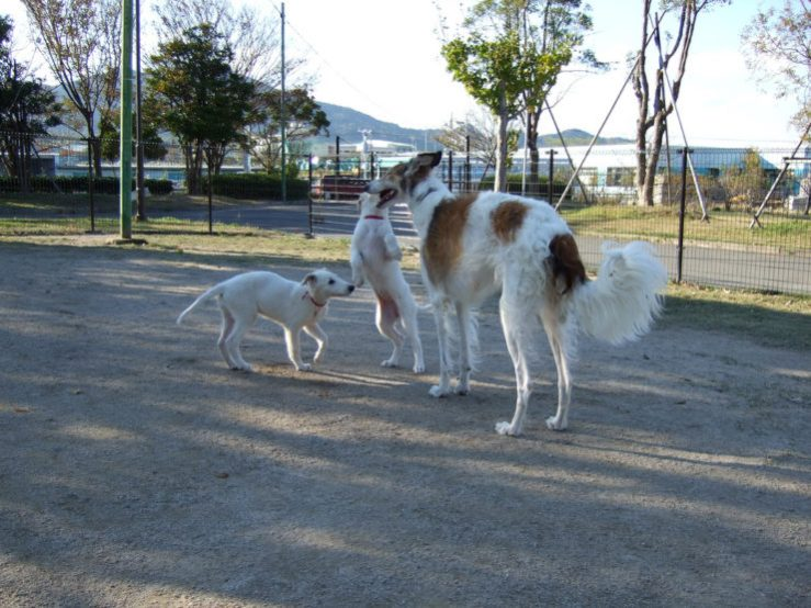 borzoi puppy photo
