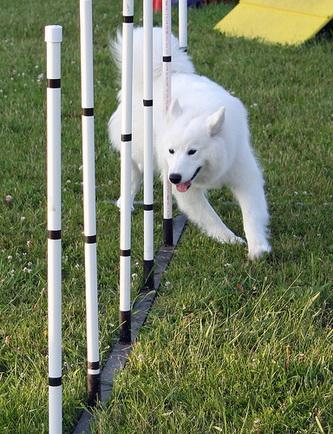 samoyed dog agility
