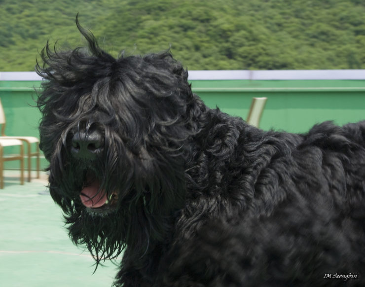 black russian terrier training