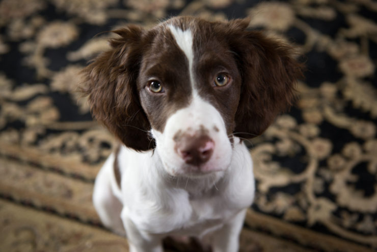 Best Dog Food For A Brittany Spaniel
