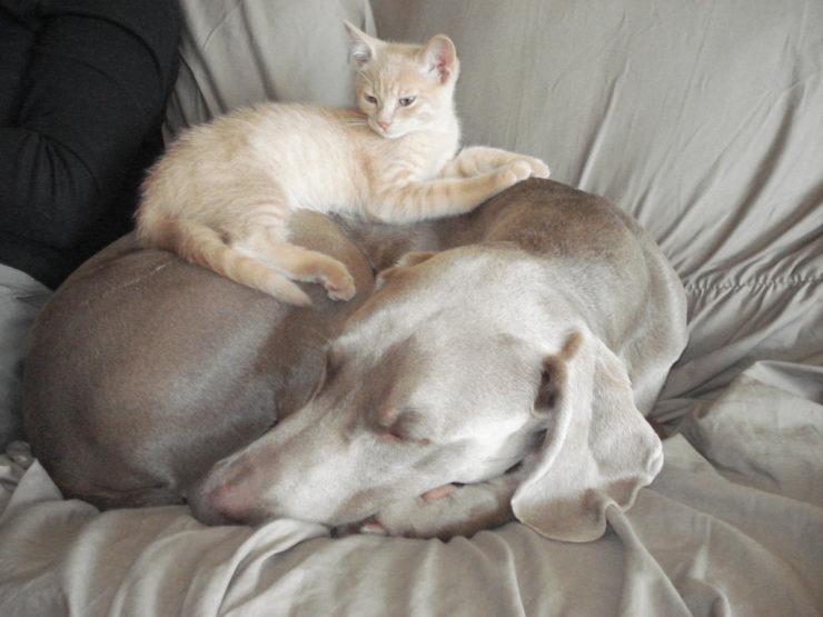 Weimaraner and cat