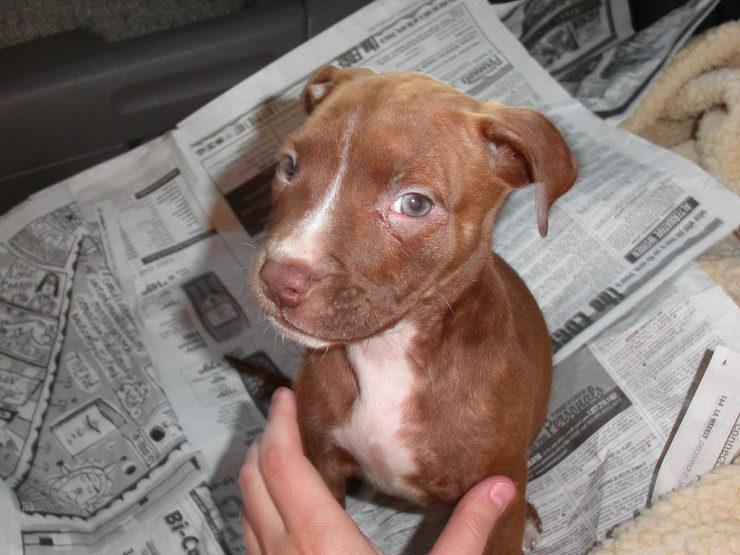 pitbull dog puppy