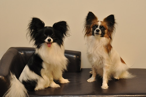 Papillon dog photo