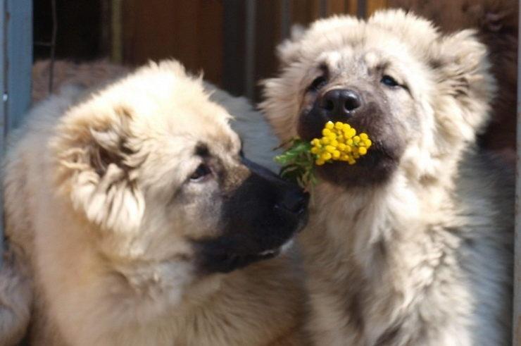 Russian Caucasian puppies