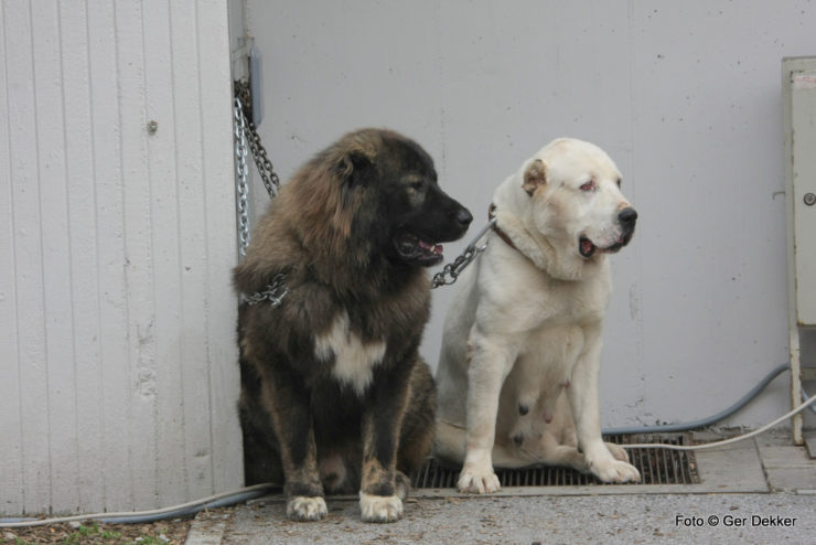 Caucasian shepherd and central asian shepherd