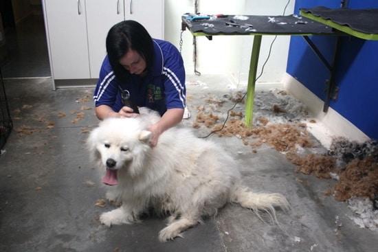rescued samoyed