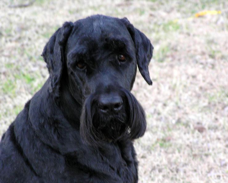 Black Russian Terrier girl
