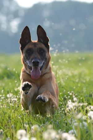 Running Malinois dog