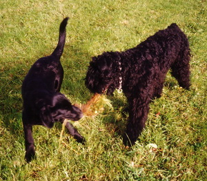 Black Russian Terrier playing