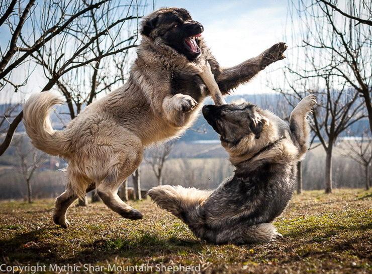 shar mountain dog fight