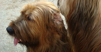 Why are Briard's and Beauceron's ears sometimes cropped?